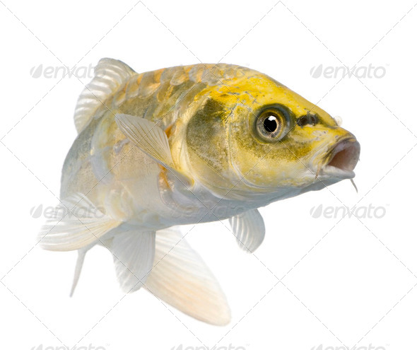 Yellow Koi ogon- Cyprinus carpio - Stock Photo - Images