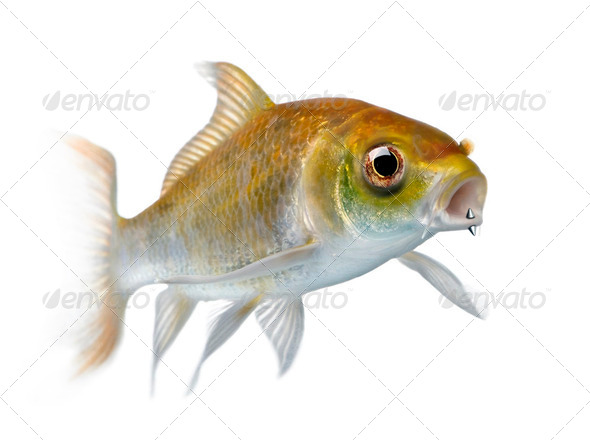 Yellow carp fish with mouth piercing swimming against white background, studio shot - Stock Photo - Images
