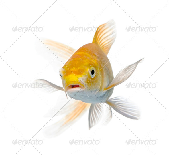 Yellow carp - Stock Photo - Images