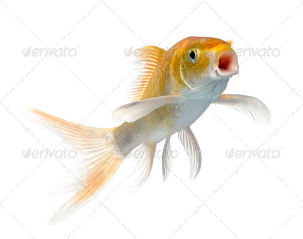 orange carp - Stock Photo - Images