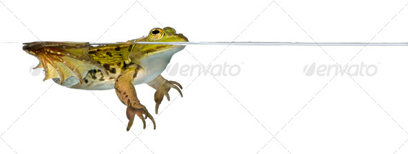 Frog floating in water - Stock Photo - Images