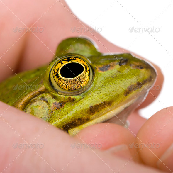 Edible Frog in a hand- Rana esculenta - Stock Photo - Images