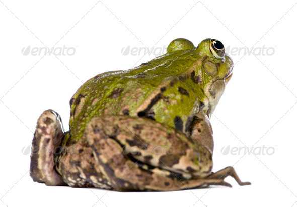 Back view of a Edible Frog - Rana esculenta - Stock Photo - Images