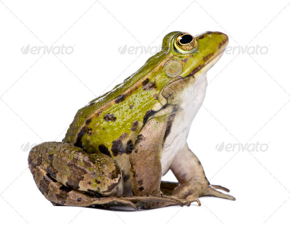 side view of a Edible Frog looking up - Rana esculenta - Stock Photo - Images