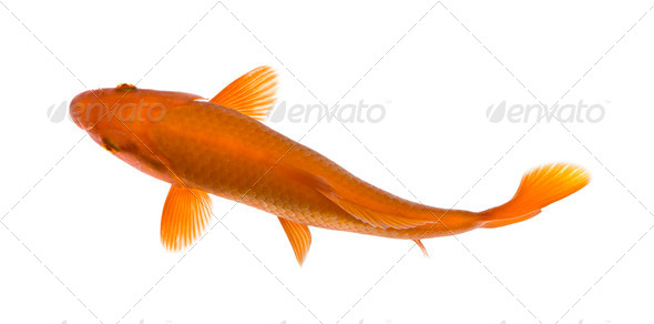 Orange koi fish, Cyprinus Carpio, studio shot - Stock Photo - Images
