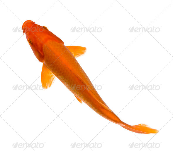 Orange Koi - Cyprinus carpio - Stock Photo - Images