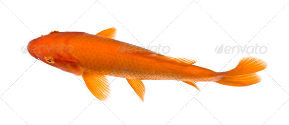 top view of a red fish : Orange Koi - Cyprinus carpio - Stock Photo - Images