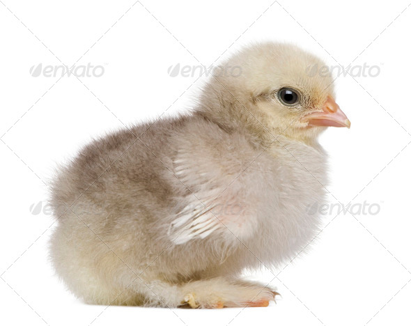 Baby chick standing in front of white background - Stock Photo - Images