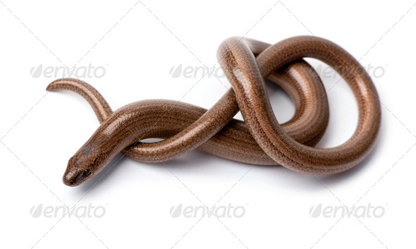 Top view of a slowworm - Anguis fragilis - Stock Photo - Images