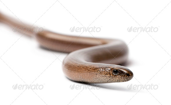 front view of a slowworm - Anguis fragilis - Stock Photo - Images