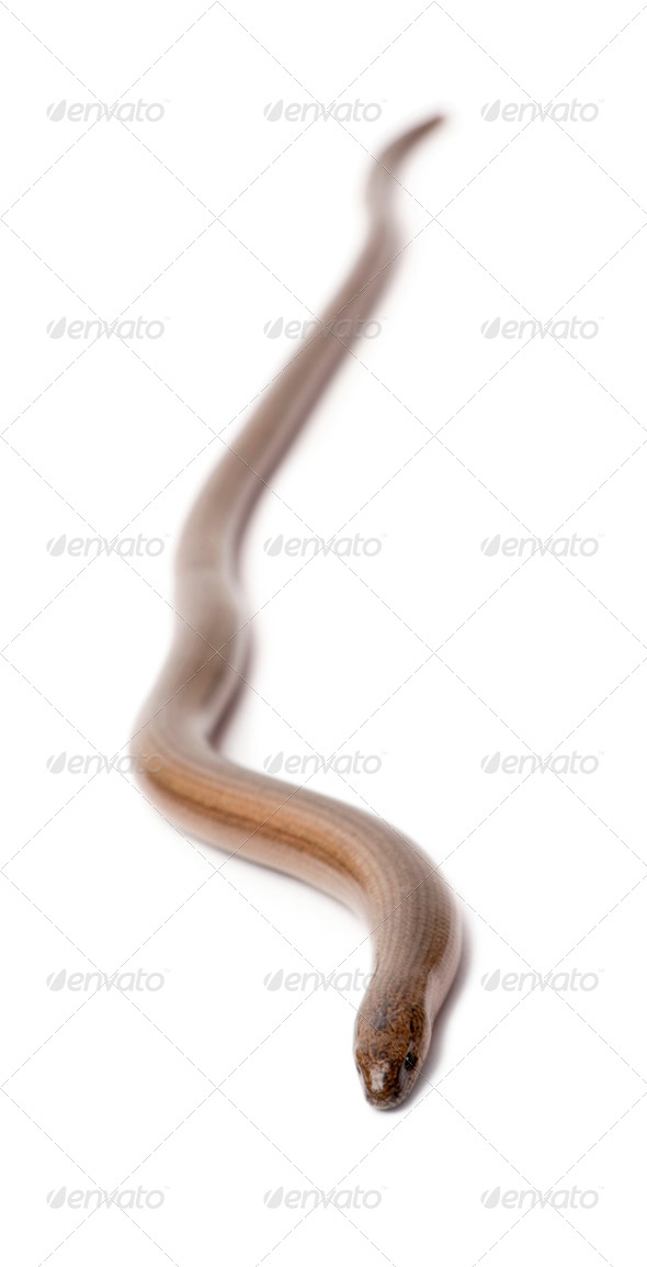 slowworm - Anguis fragilis - Stock Photo - Images