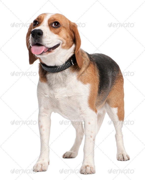 Beagle panting - Stock Photo - Images