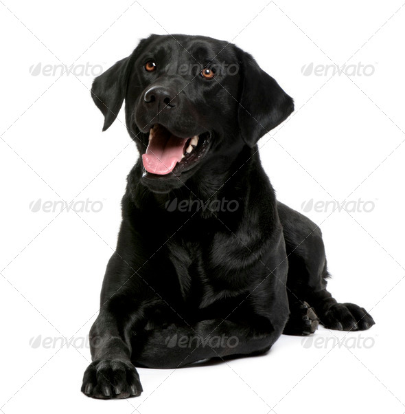 black Labrador - Stock Photo - Images