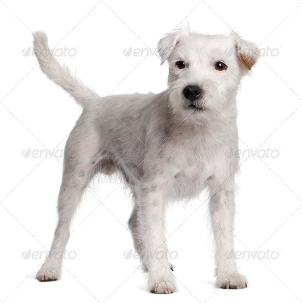 Parson Russell Terrier standing in front of white background - Stock Photo - Images