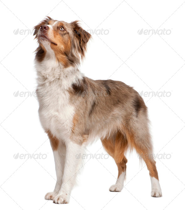 australian shepherd looking up - Stock Photo - Images