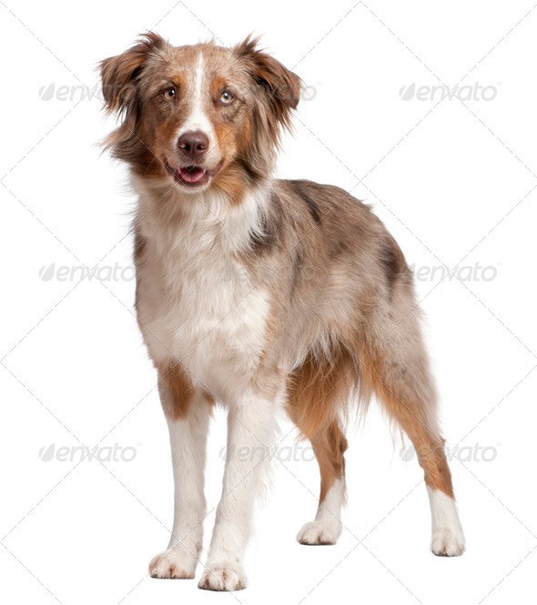 Australian Shepherd dog standing in front of a white background - Stock Photo - Images