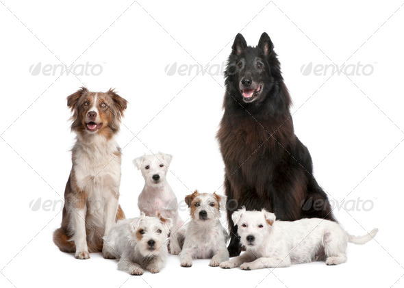 group of 5 dogs; 4 Parson Russell Terrier, a Australian Shepherd and a mixed-breed - Stock Photo - Images