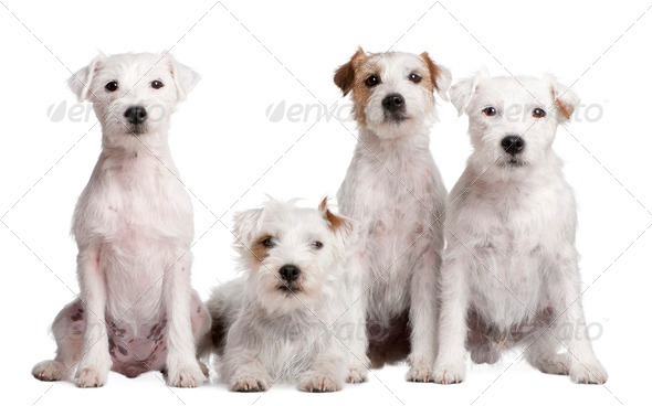 group of 4 dogs : Parson Russell Terrier - Stock Photo - Images