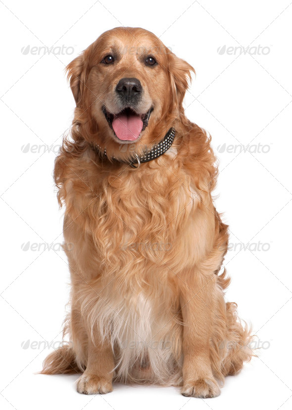 Brown Golden Retriever panting (7 years old) - Stock Photo - Images