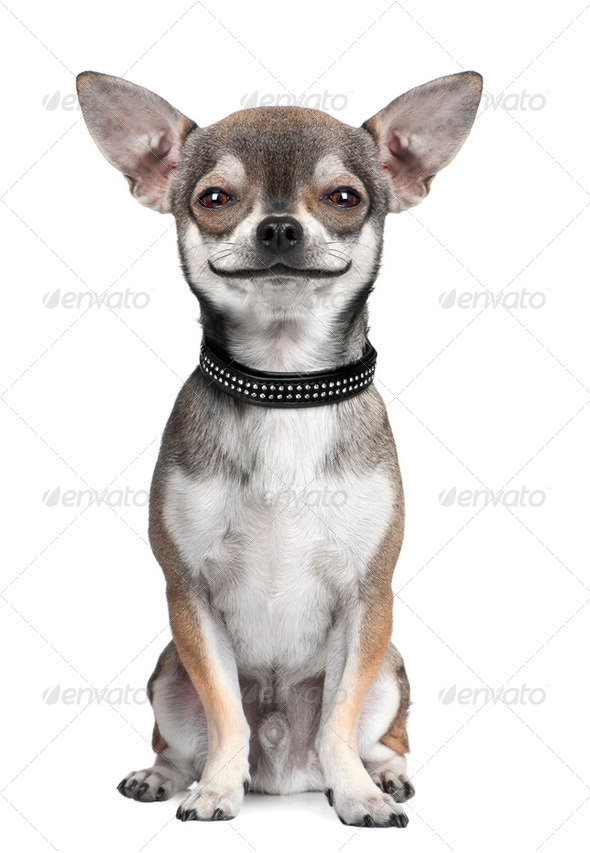 dog ( chihuahua ) looking at the camera, smiling - Stock Photo - Images