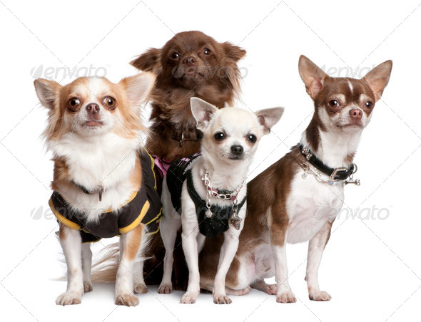 Group of 4 chihuahuas dressed-up - Stock Photo - Images