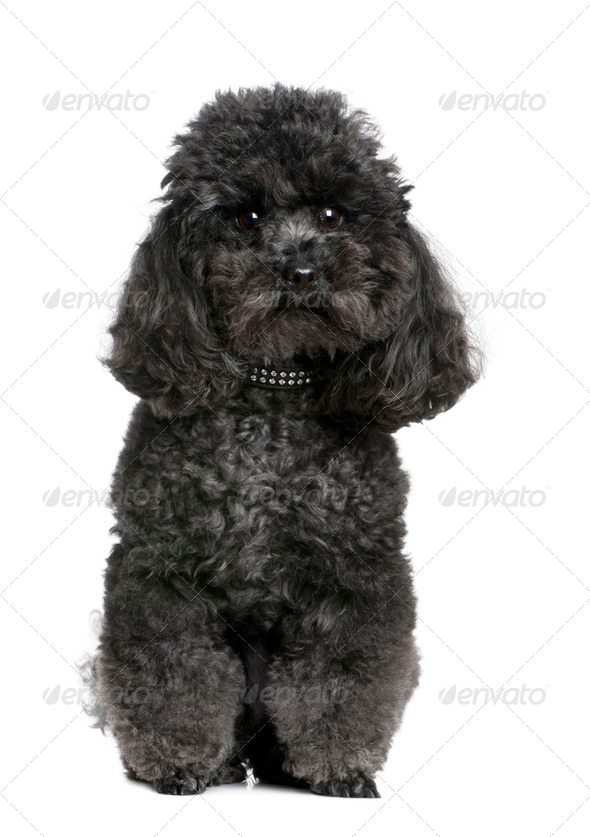 toy poodle (4 yeras old) - Stock Photo - Images