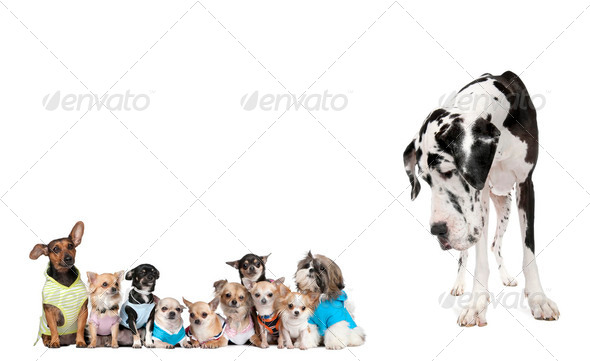 Large dog looking at small puppies in front of white background, studio shot - Stock Photo - Images