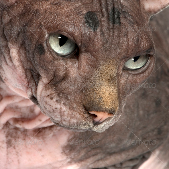 Sphynx (7 years old) - Stock Photo - Images