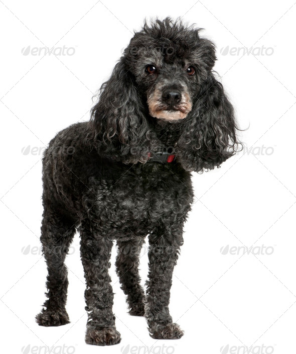 Old black poodle (12 yeras old) - Stock Photo - Images