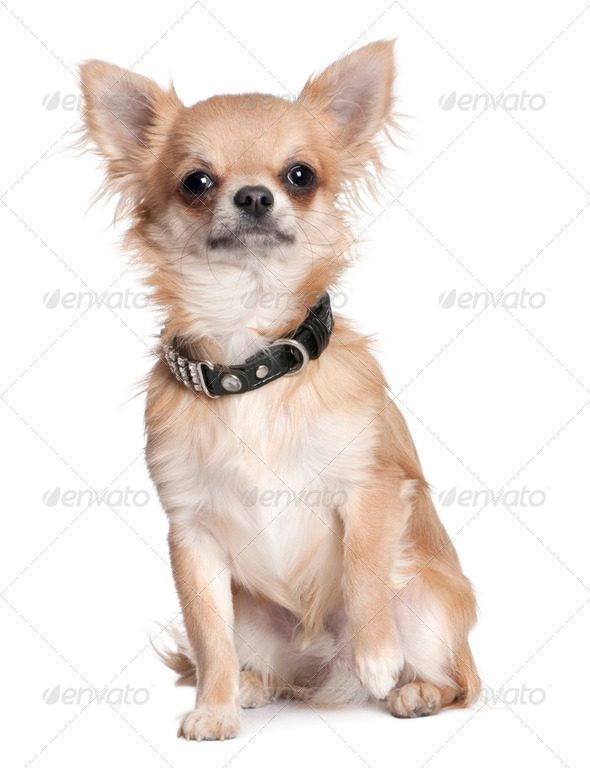 chihuahua puppy (8 months old) - Stock Photo - Images
