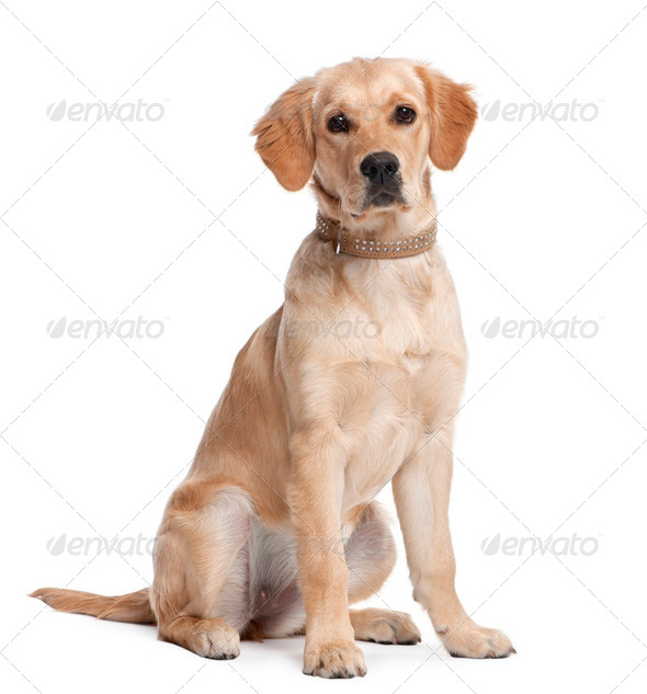 Golden Retriever puppy (5 months old) - Stock Photo - Images