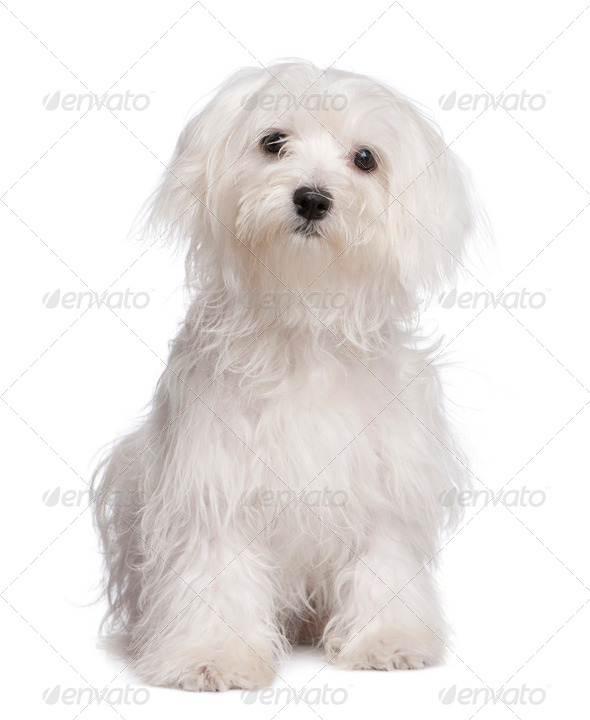 maltese dog puppy (7 months old) - Stock Photo - Images
