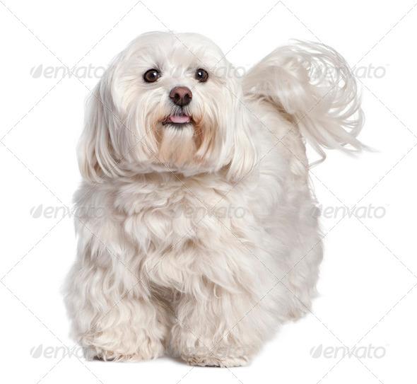 maltese dog (6 years old) - Stock Photo - Images