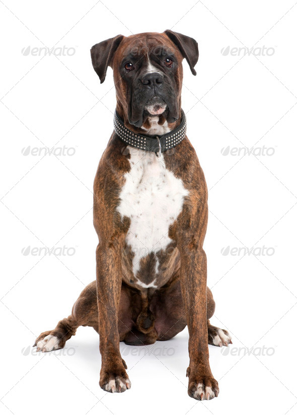 Boxer (4 years old) - Stock Photo - Images