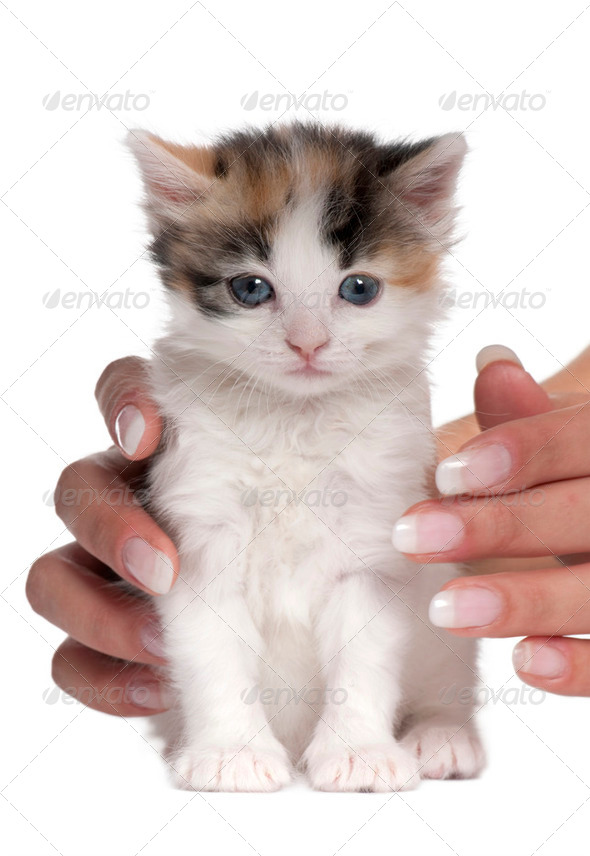 kitten (1 months old) - Stock Photo - Images