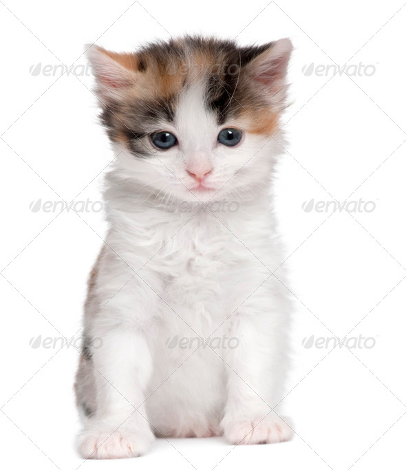 kitten (1 month old) - Stock Photo - Images