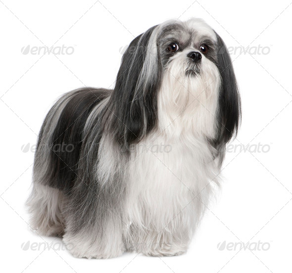 Lhasa Apso (4 years old) - Stock Photo - Images