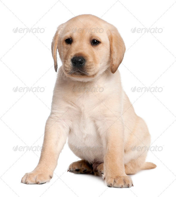 Labrador puppy (6 weeks old) - Stock Photo - Images