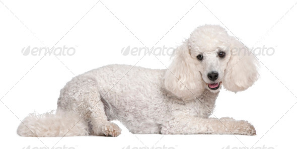 Poodle (2 years old) - Stock Photo - Images