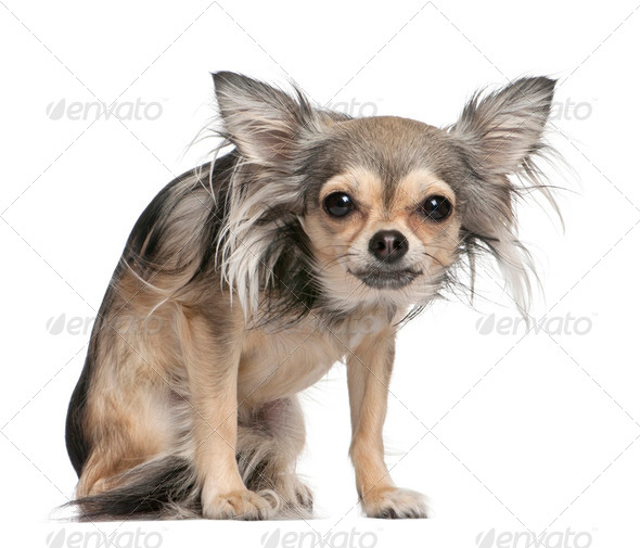 long haired chihuahua looking at the camera (2 years old) - Stock Photo - Images