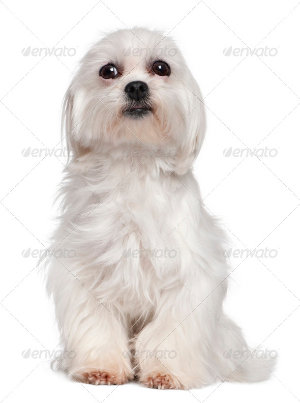 Mixed-Breed Dog with a maltese dog - Stock Photo - Images