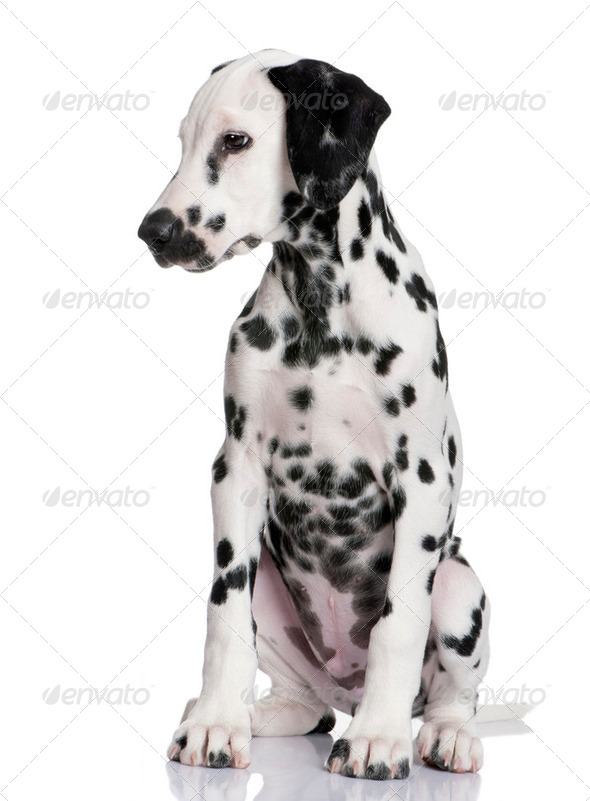 Dalmatian puppy - Stock Photo - Images