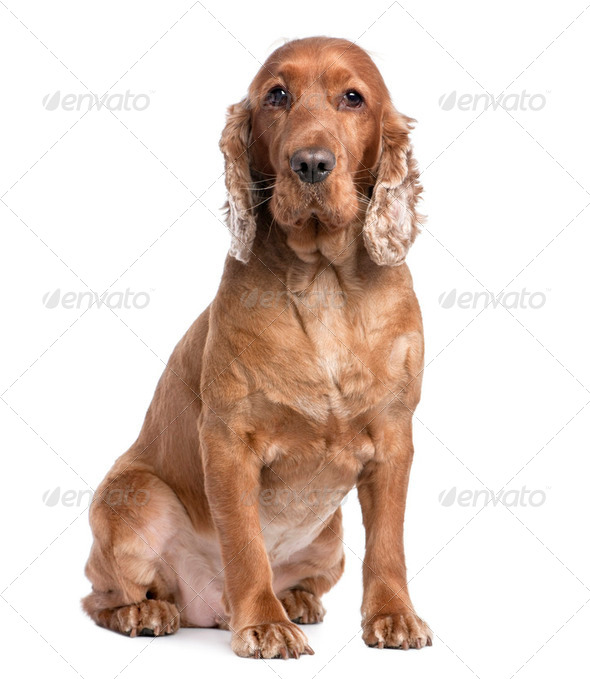 Cocker Spaniel sitting (3 years old) - Stock Photo - Images