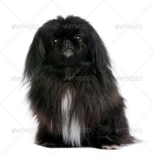 Black Pekingese (6 years old) - Stock Photo - Images
