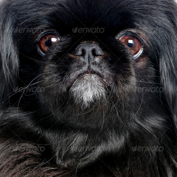 Black Pekingese (6 years old) - Stock Photo - Images