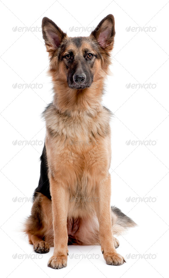 german shepherd dog sitting and facing at the camera - Stock Photo - Images