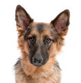 close-up on german shepherd (11 months old)