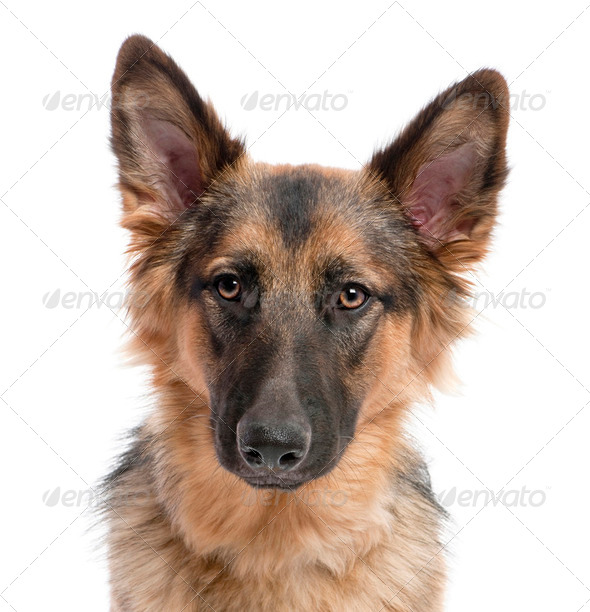 close-up on german shepherd (11 months old) - Stock Photo - Images