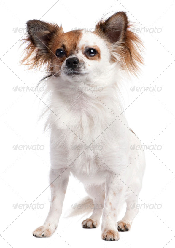 long haired chihuahua (1 year old) - Stock Photo - Images
