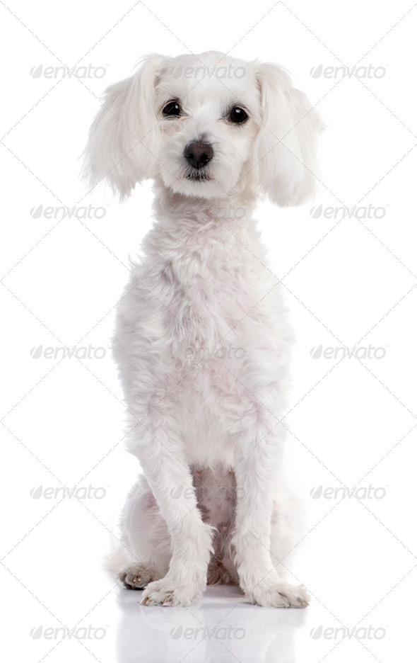 maltese dog (2 years old) - Stock Photo - Images